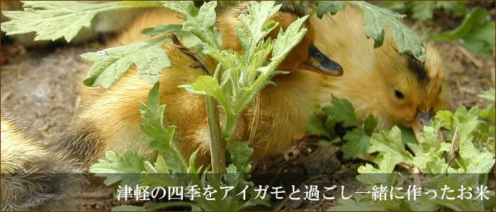 玄米 無農薬 アイガモ農法 つがるロマン バナー