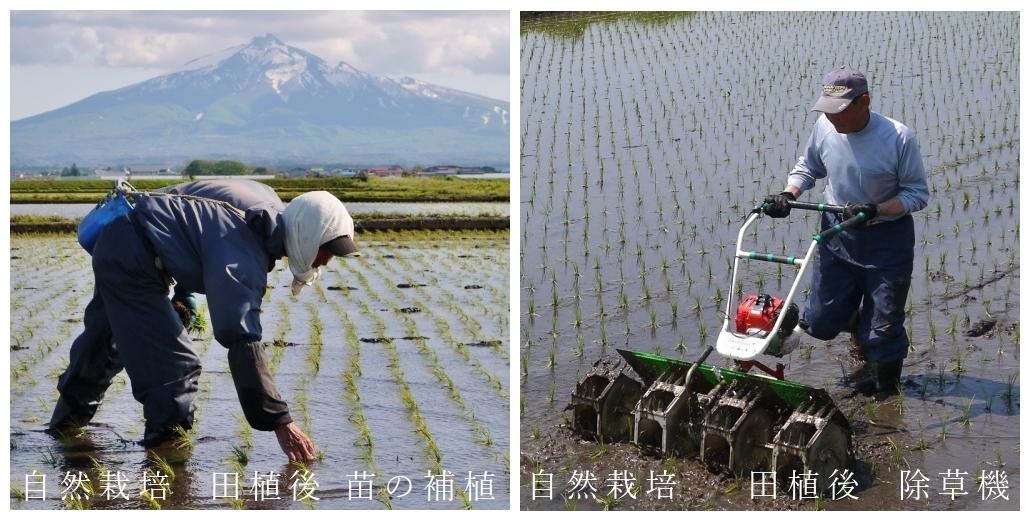 米,お米,玄米,無肥料,無農薬,自然栽培,作業風景,亀の尾,つがるロマン,津軽米屋