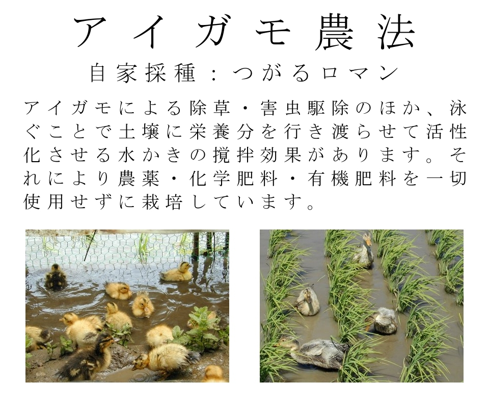 アイガモ農法(合鴨米),自家採種,つがるロマン,アイガモによる除草・害虫駆除のほか、泳ぐことで土壌に栄養分を行き渡らせて活性化させる水かきの撹拌効果があります。それにより農薬・化学肥料・有機肥料を一切使用せずに栽培できます。