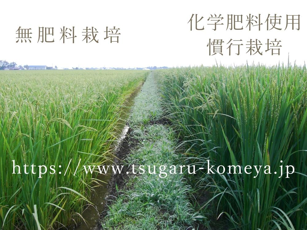 米,お米,玄米,無農薬,無肥料,亀の尾,つがるロマン,無肥料と化学肥料の比較写真